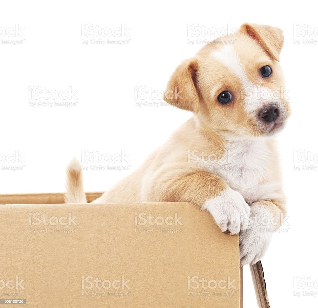 Brown puppy in a box. stock photo
