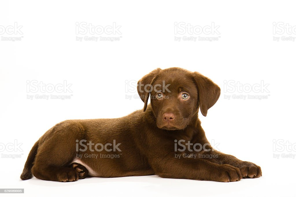 brown puppy labrador lying down stock photo