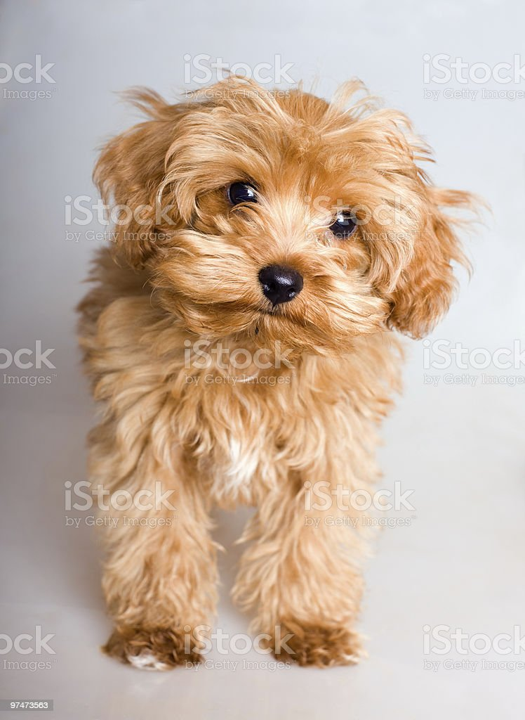 Brown puppy stock photo