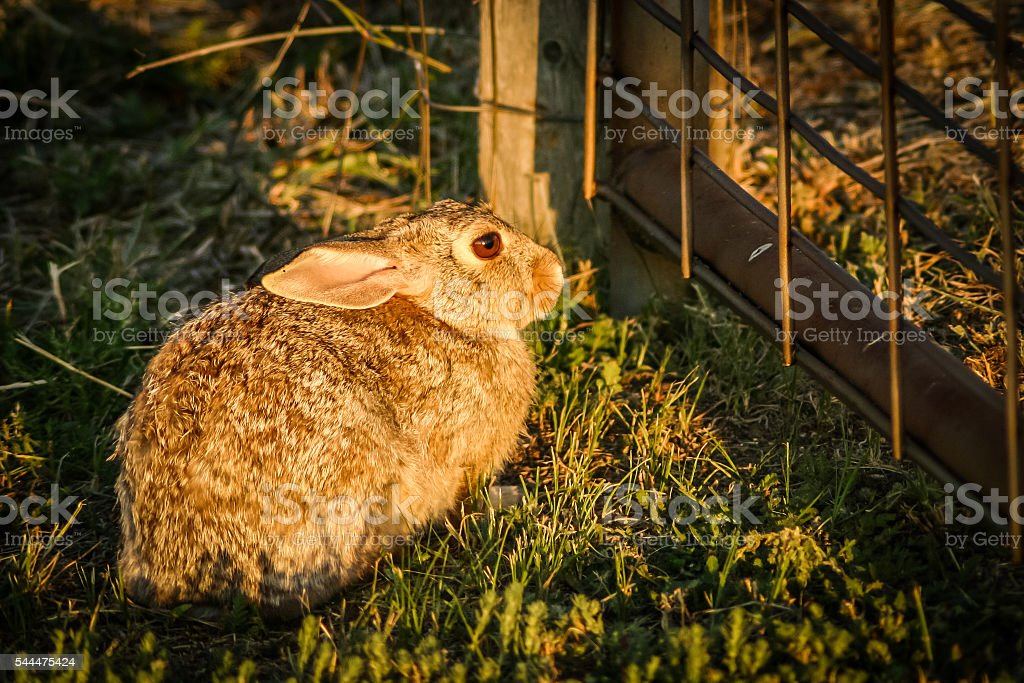 Brown Rabbit at Gate stock photo