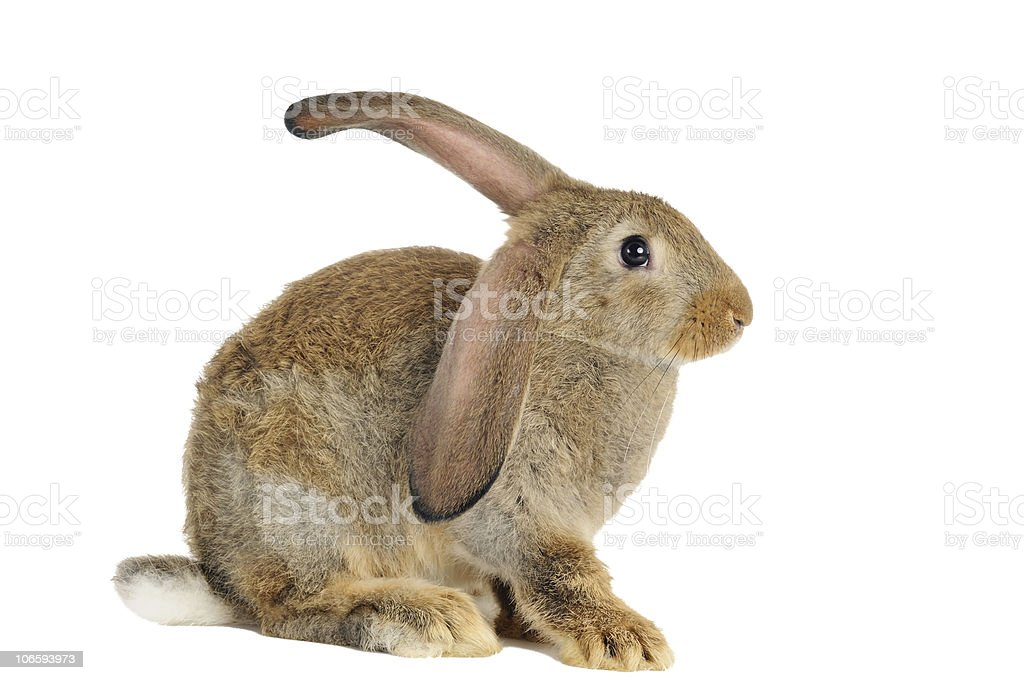 brown rabbit bunny isolated stock photo