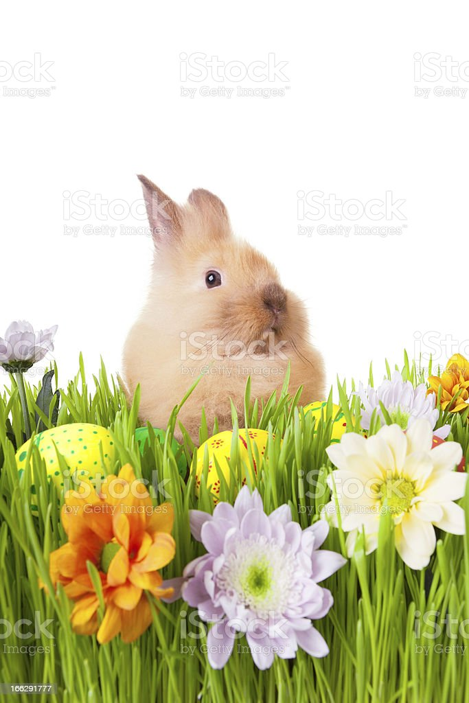 Brown  rabbit in green grass with flowers and easter eggs royalty-free stock photo