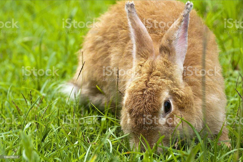 Szary Królik na trawie (Bunny zbiór zdjęć royalty-free