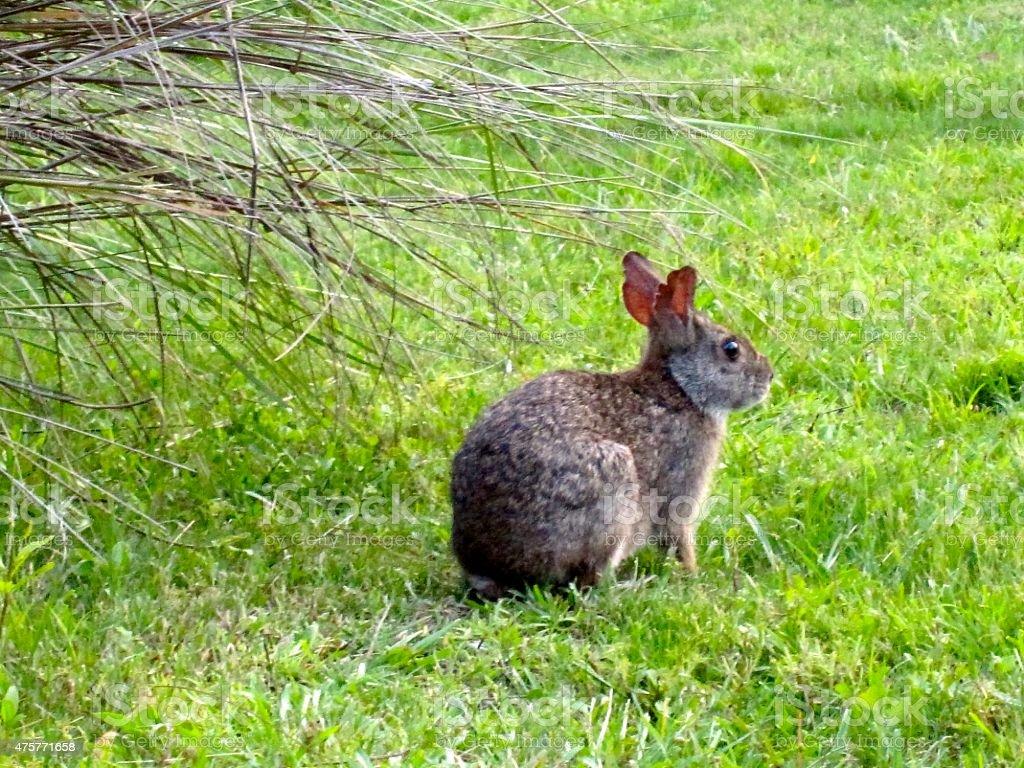 Brown Rabbit on Grass stock photo