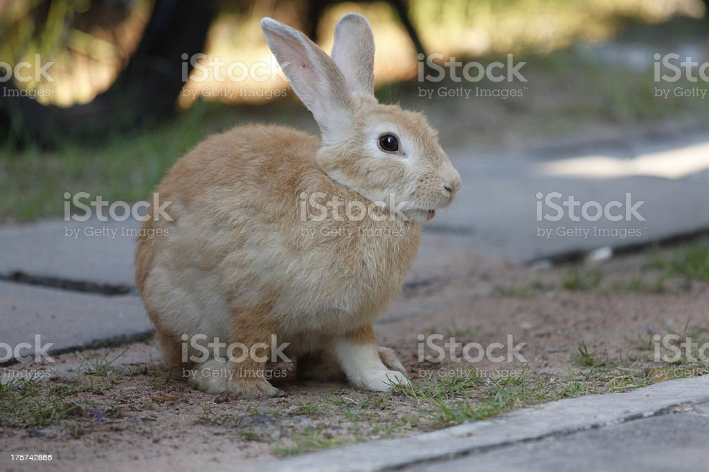 Brown Rabbit Sits royalty-free stock photo