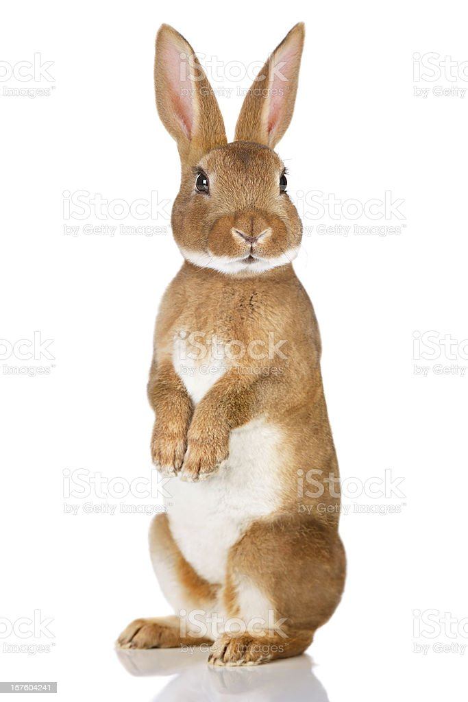 Brown rabbit standing up royalty-free stock photo