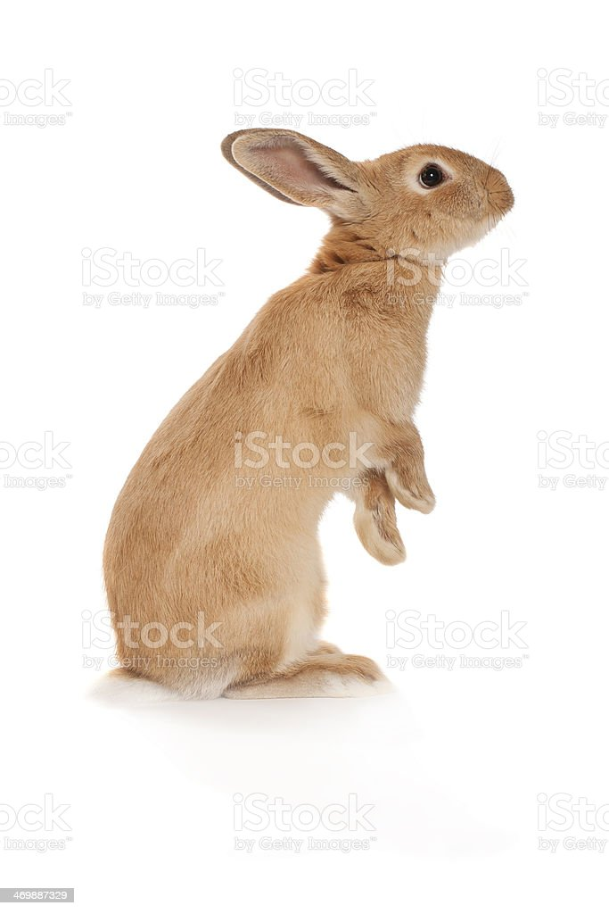 Brown rabbit standing up stock photo