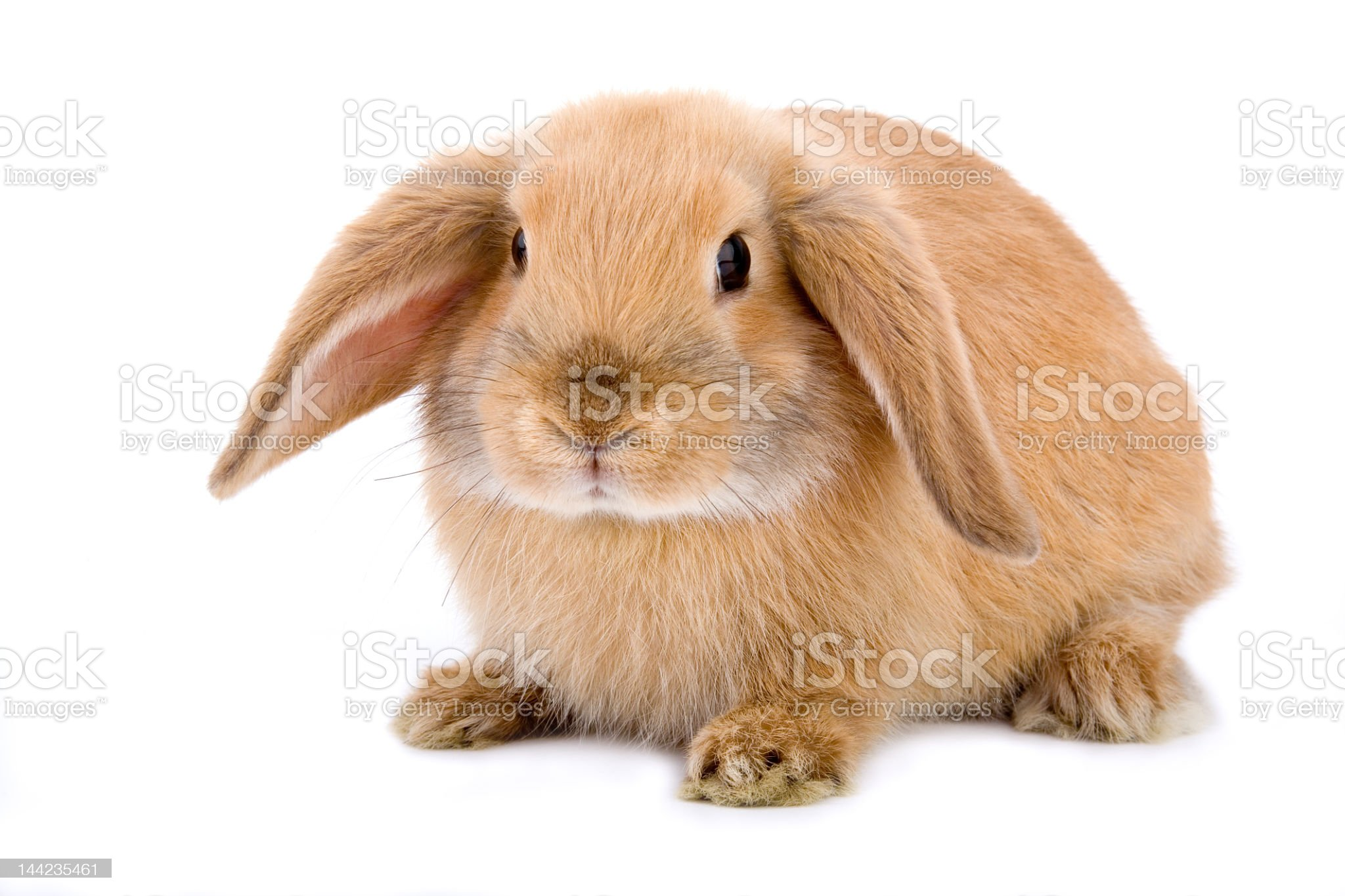 Brown rabbit with ears down on white background  royalty-free stock photo