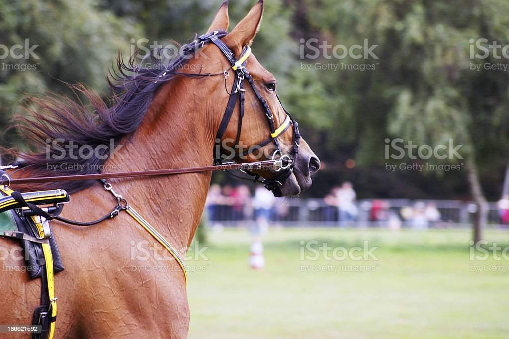 brown racehorse royalty-free stock photo