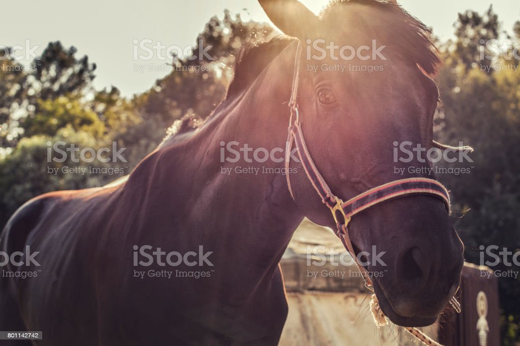 Brown racer horse at stall stock photo