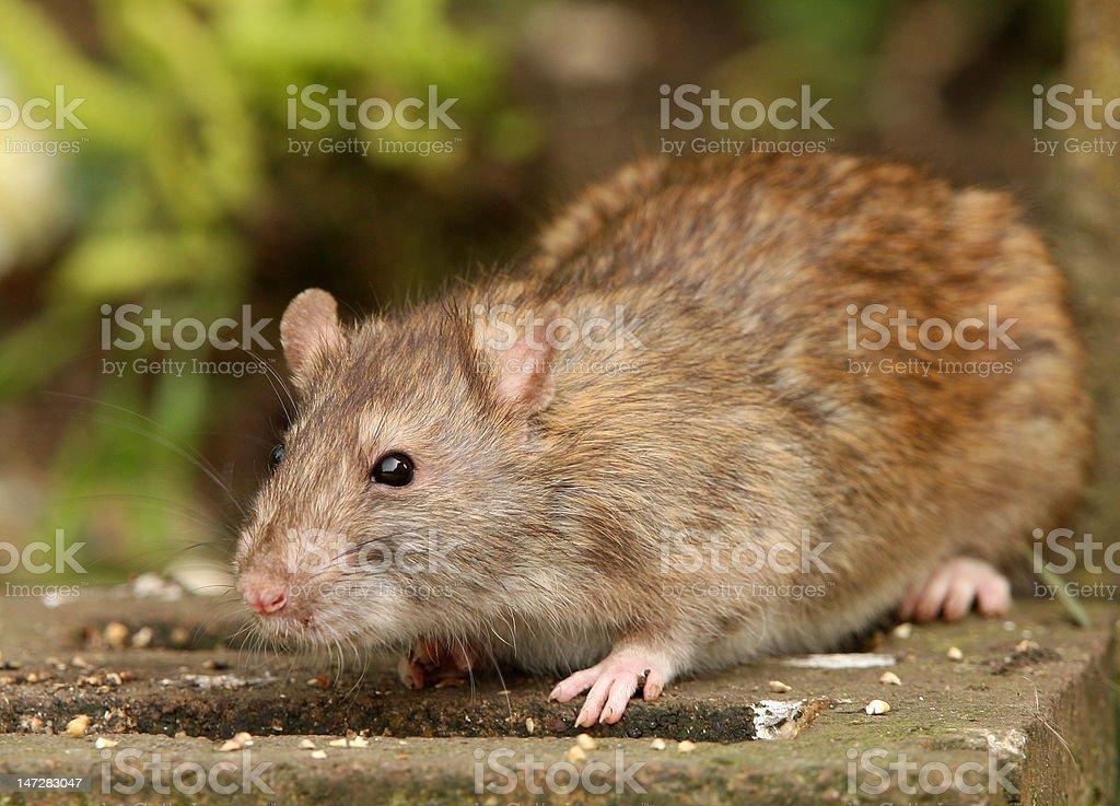 Brown Rat royalty-free stock photo
