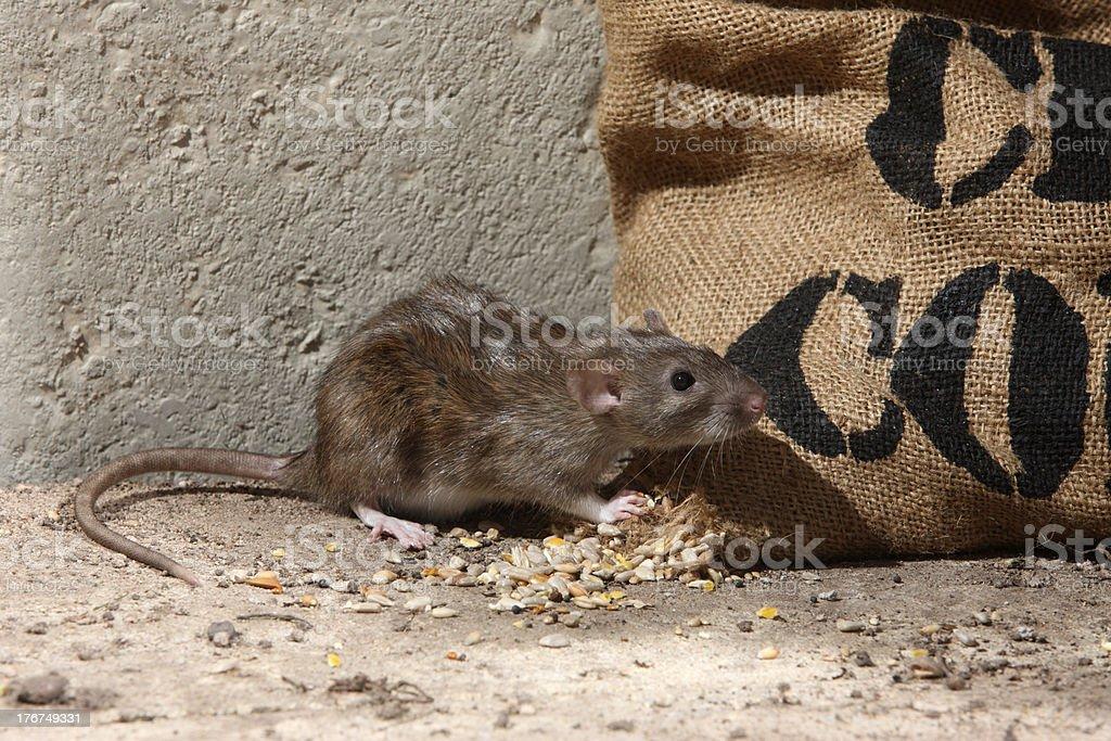 Brown rat, Rattus norvegicus stock photo
