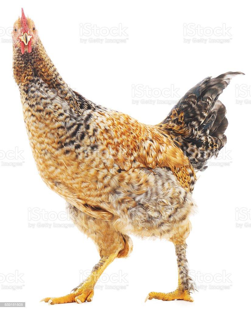 Marrón gallo foto de stock libre de derechos