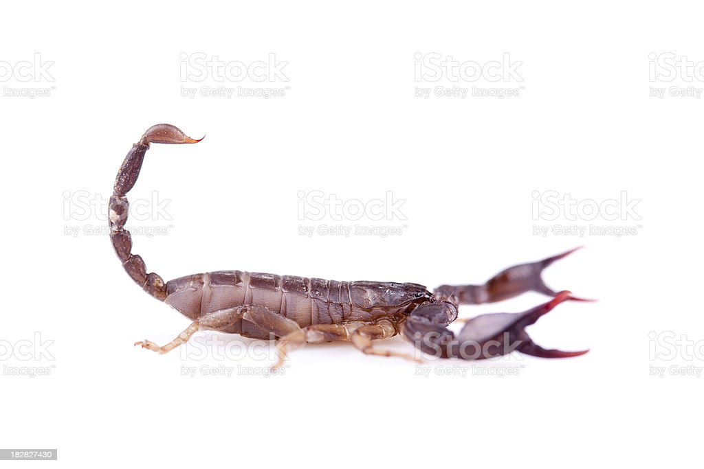 Brown scorpion isolated on white background royalty-free stock photo