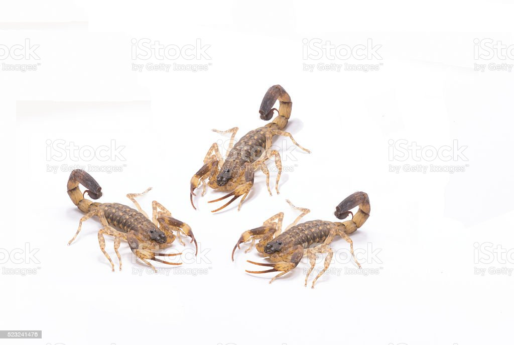 Brown scorpion on white stone and shell snail stock photo
