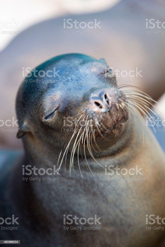 Brown sea lion in the Galapagos Islands, Ecuador stock photo