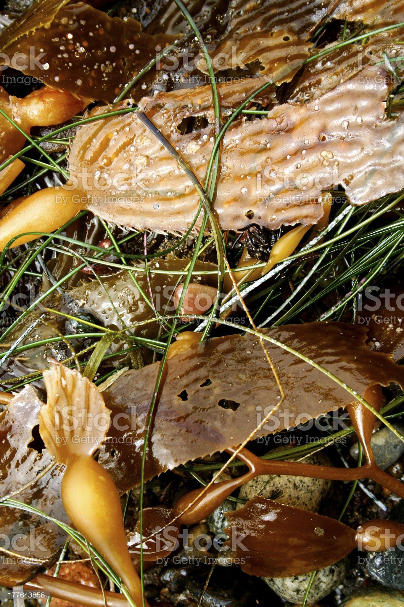 Brown Seaweed royalty-free stock photo