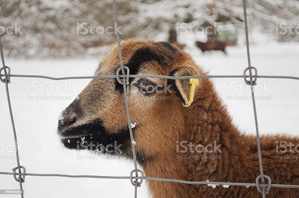 Portret brązowy owiec zbiór zdjęć royalty-free