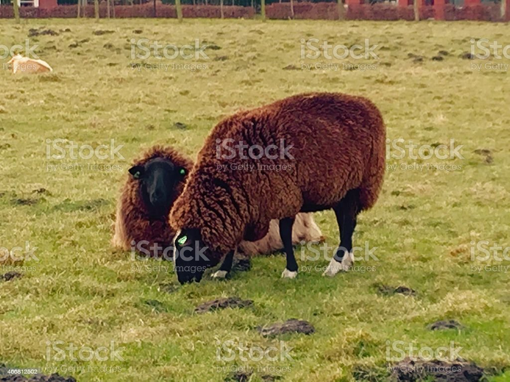 Brown sheeps in a meadow Enschede stock photo