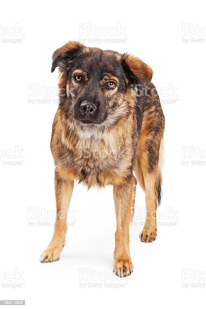 Brown Shepherd Crossbreed Dog stock photo