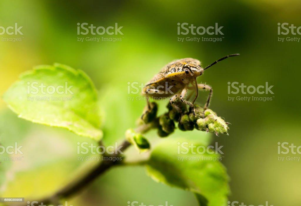 Brown Shield bug stock photo