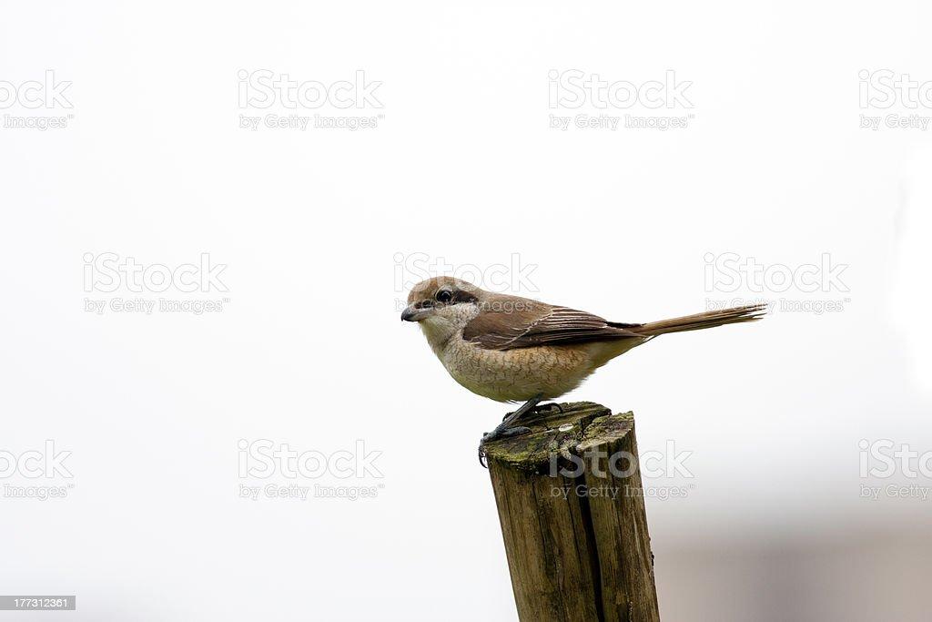 Brown Shrike royalty-free stock photo