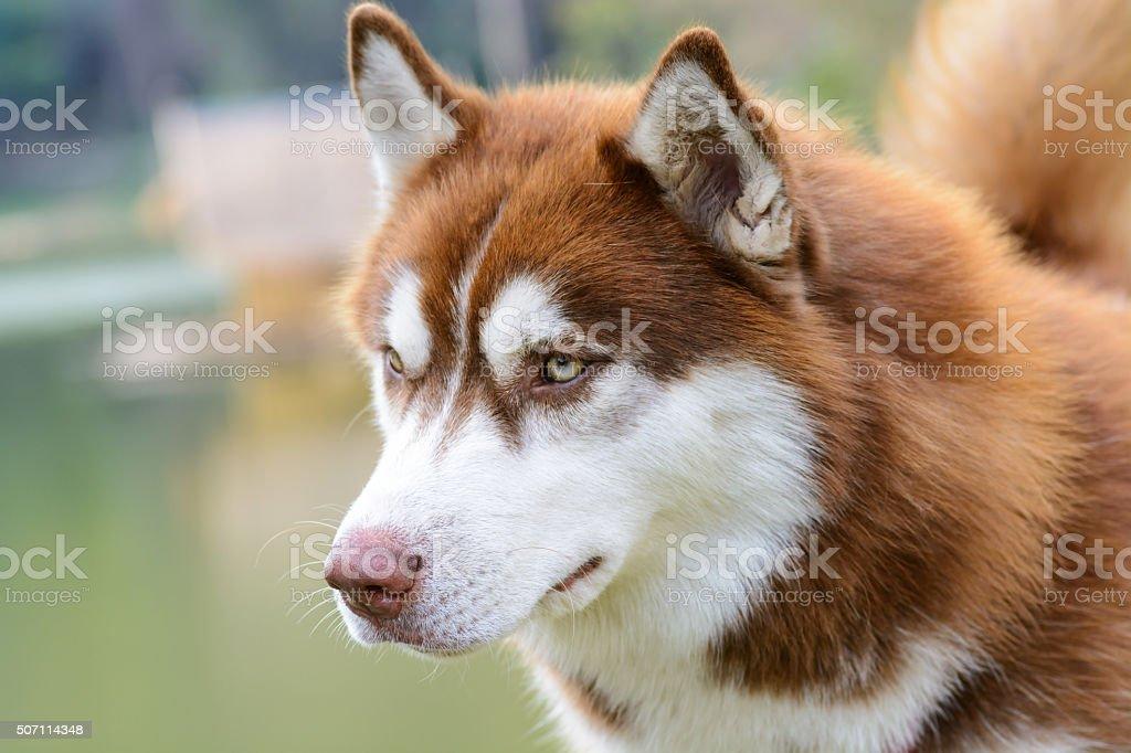 Brown siberian husky dog standing stock photo