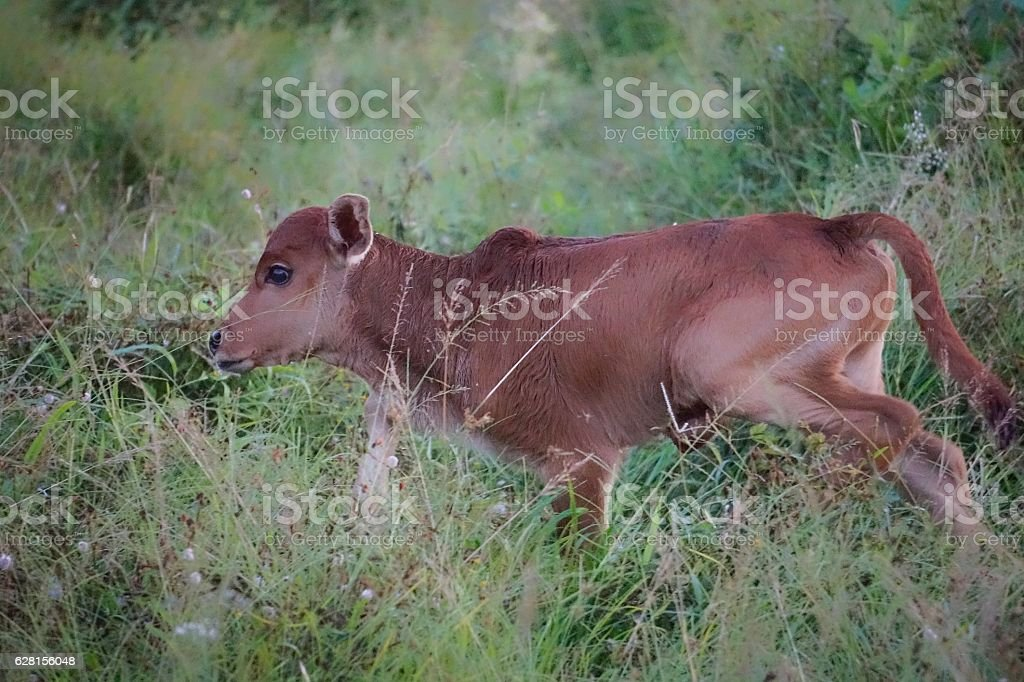 Brown small cow royalty-free stock photo