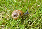 Brown Snail with The Shell