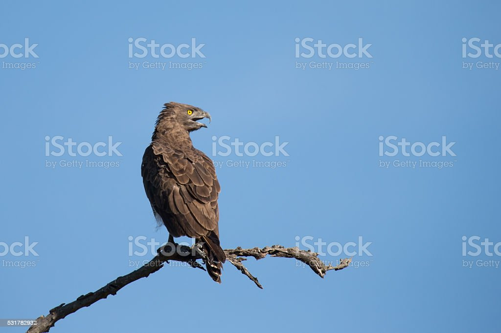Brown snake eagle sitting on a branch with fierce yellow stock photo