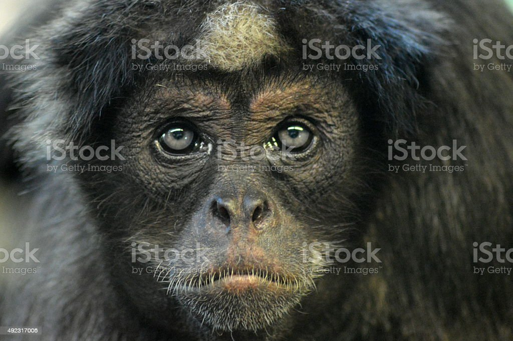 Brown Spider Monkey stock photo