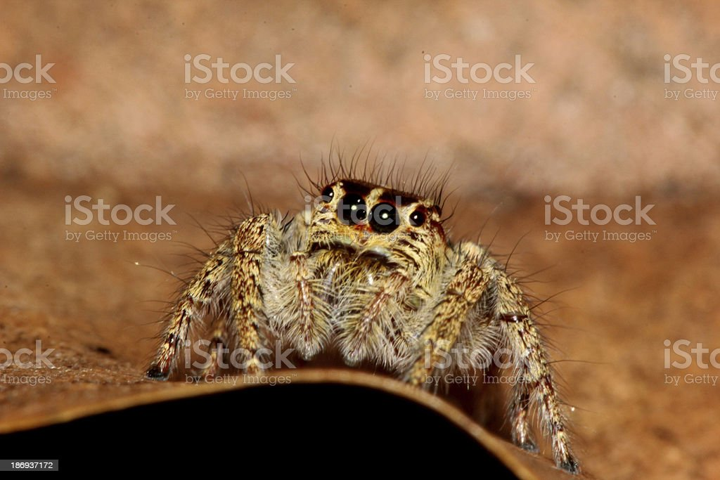 brown spider on leaf royalty-free stock photo
