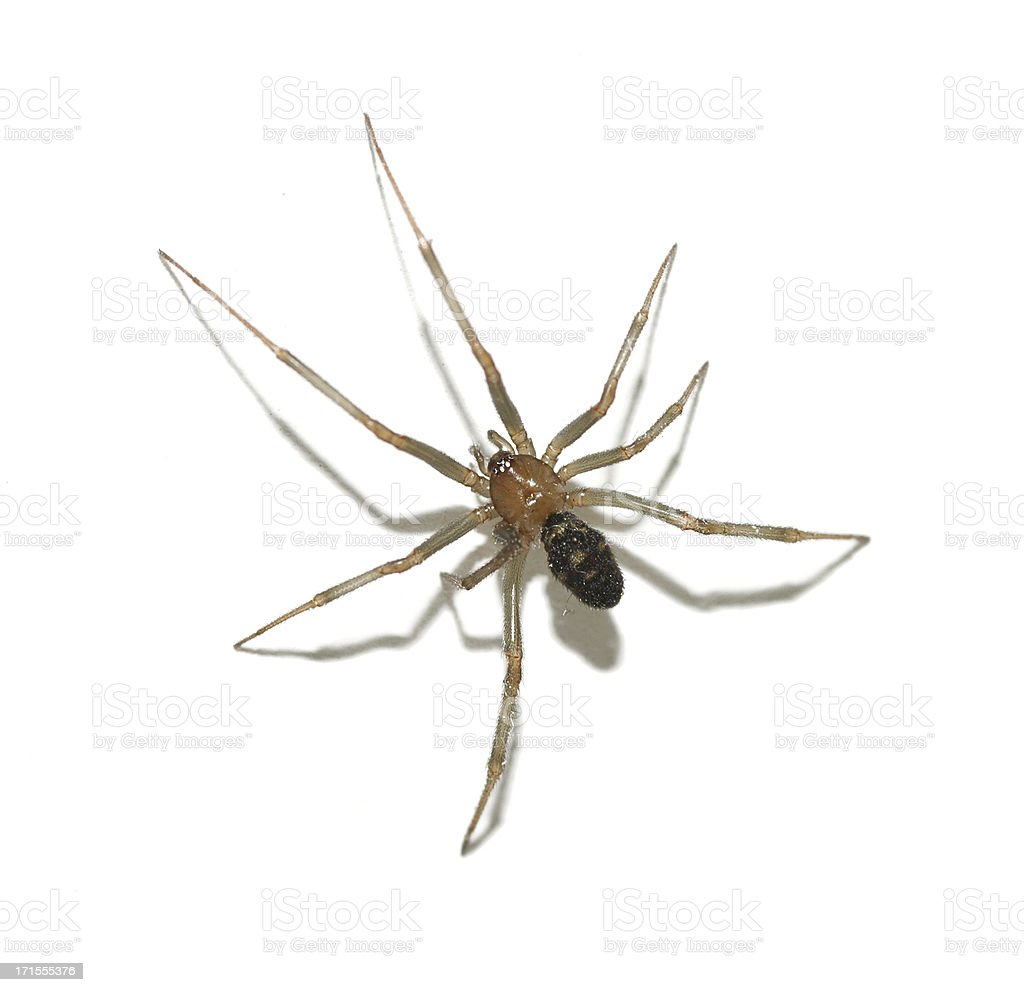 Brown Spider royalty-free stock photo