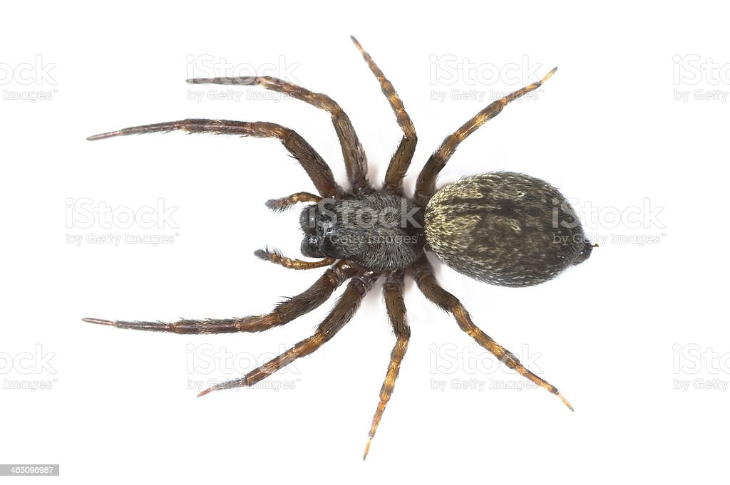 Brown Spider stock photo