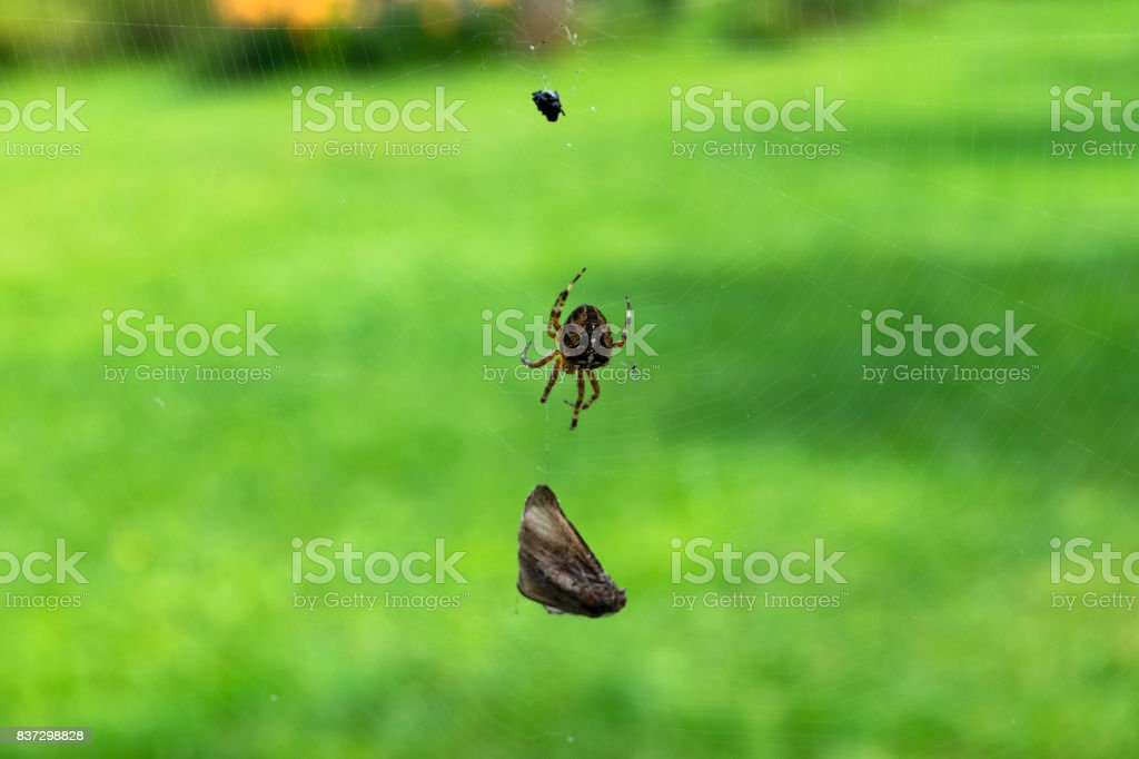 Brown spider with caught flies, garden cross spider has caught a fly, spider web stock photo