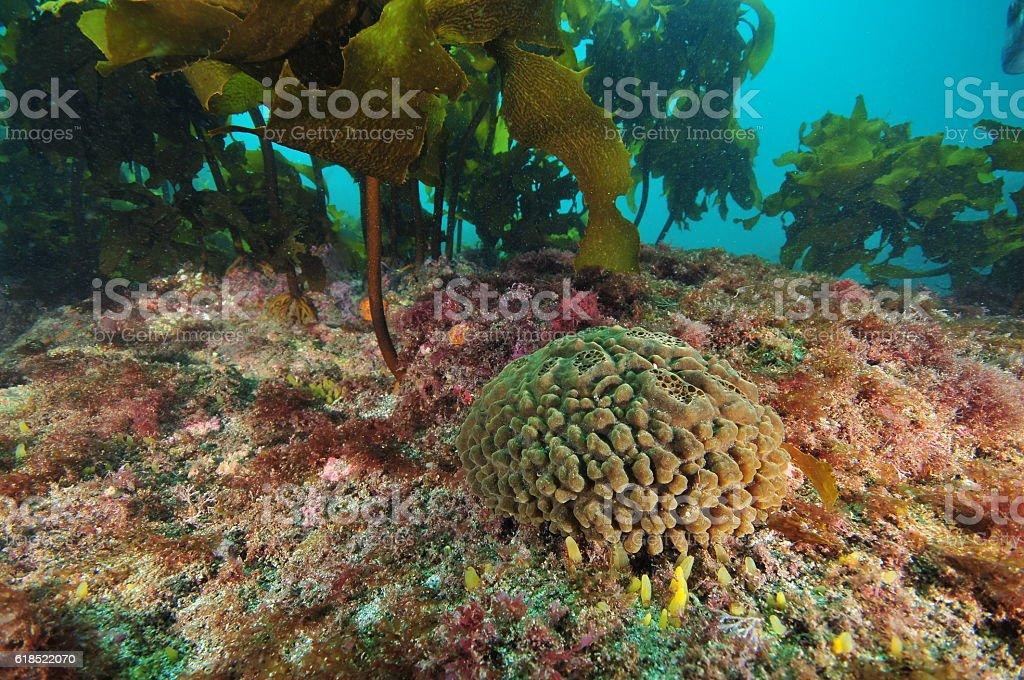 Brown sponge among kelp stock photo