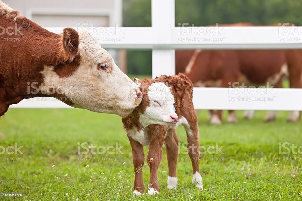 Brown spotted cow and calf on a lush green field in Hereford stock photo