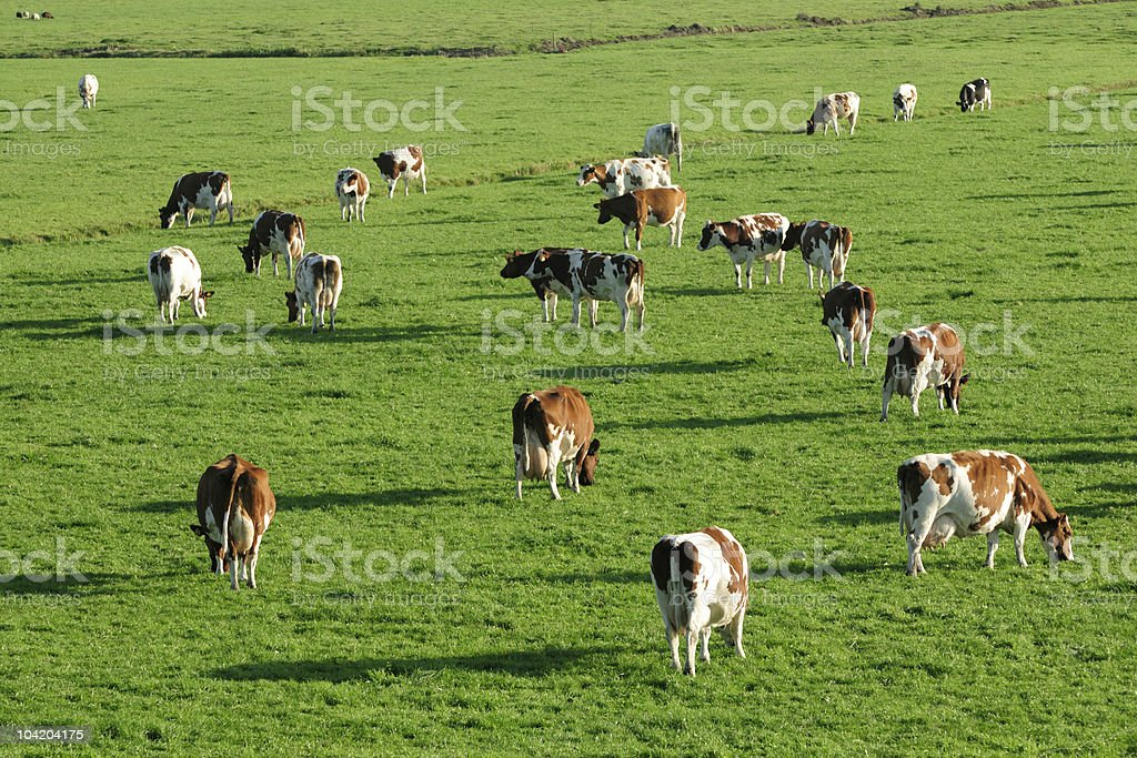 Brown spotted cows grazing in a meadow royalty-free stock photo