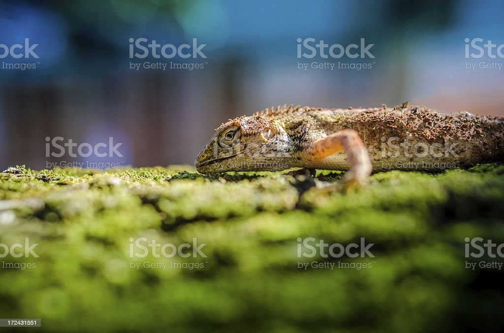 Brown spotted gecko reptile stock photo