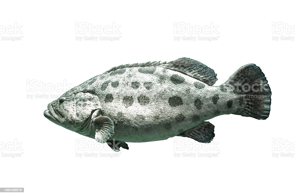 Brown spotted grouper stock photo