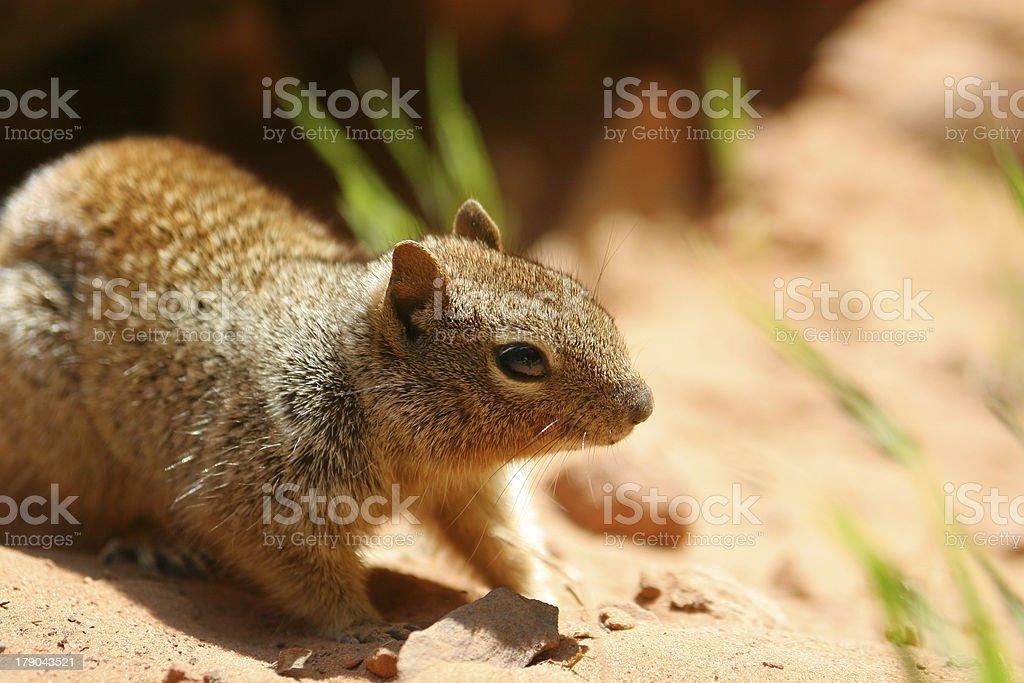 brown sqirrel royalty-free stock photo