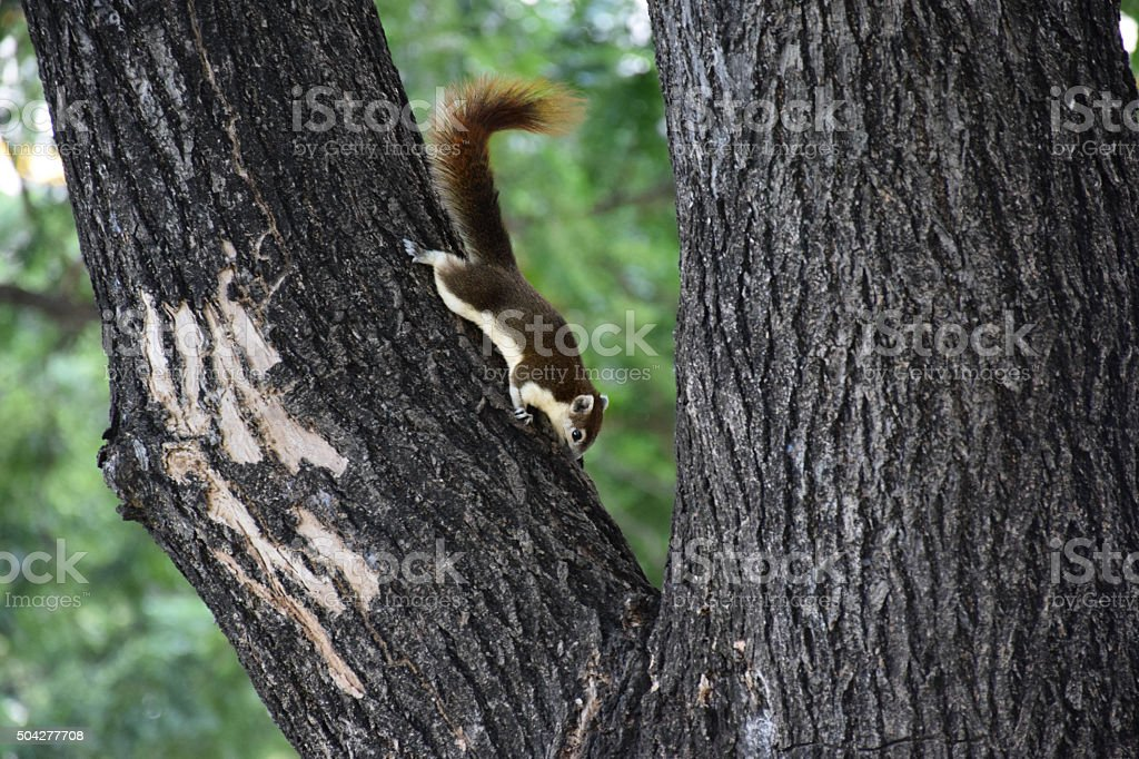 Brown squirrel on the tree stock photo