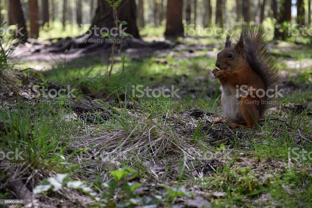 Brown squirrel with dug, snout and claws sitting on grass stock photo