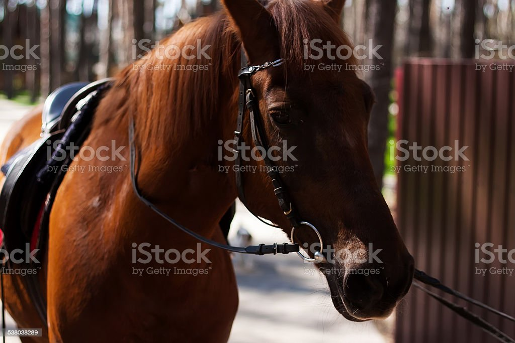 Brown stallion. Portrait of a sports brown horse. Riding. Thoroughbred stock photo