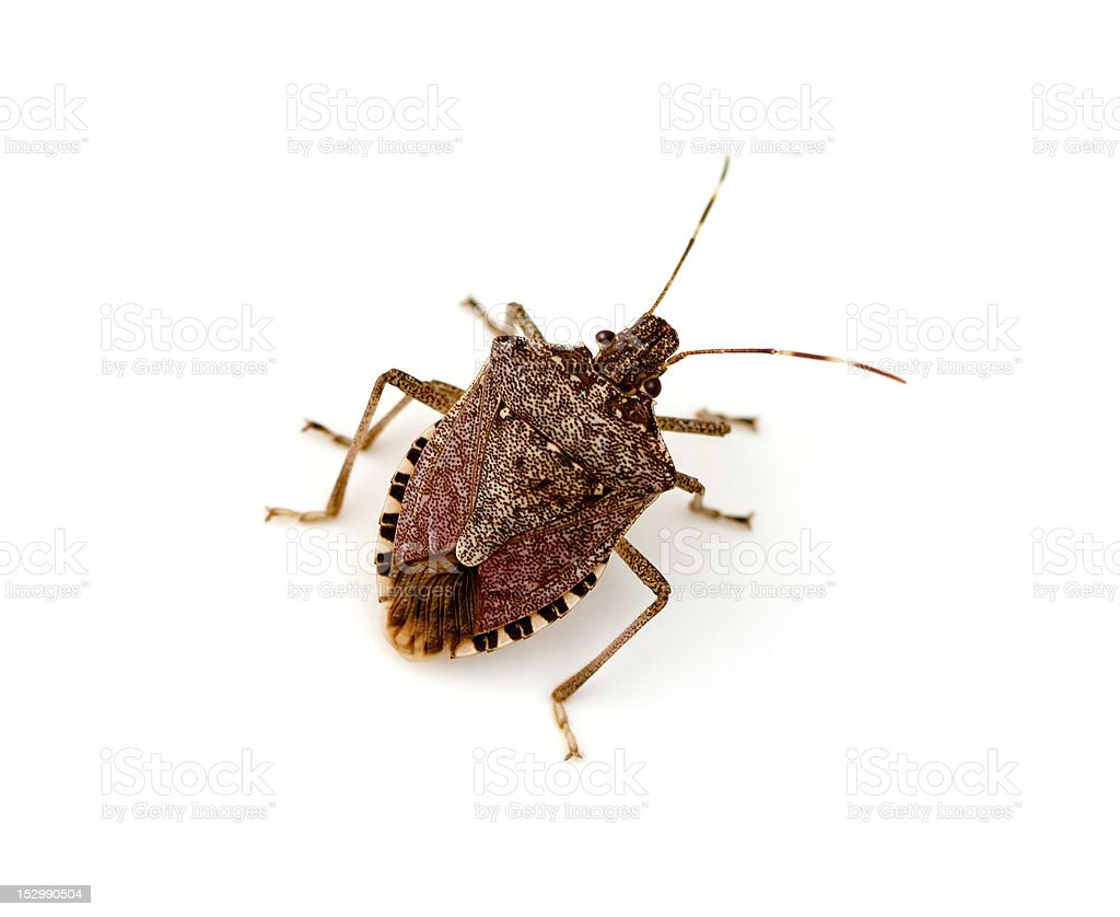 Brown stink bug on a whit background royalty-free stock photo