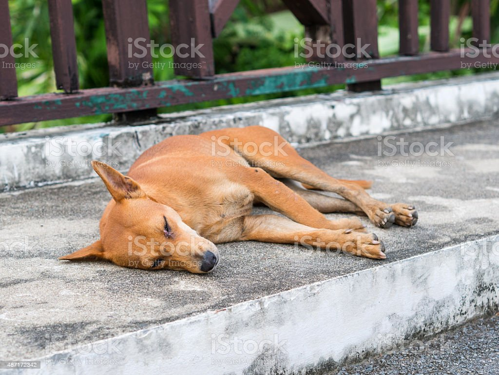 Brown stray dog sleep on pathway. royalty-free stock photo