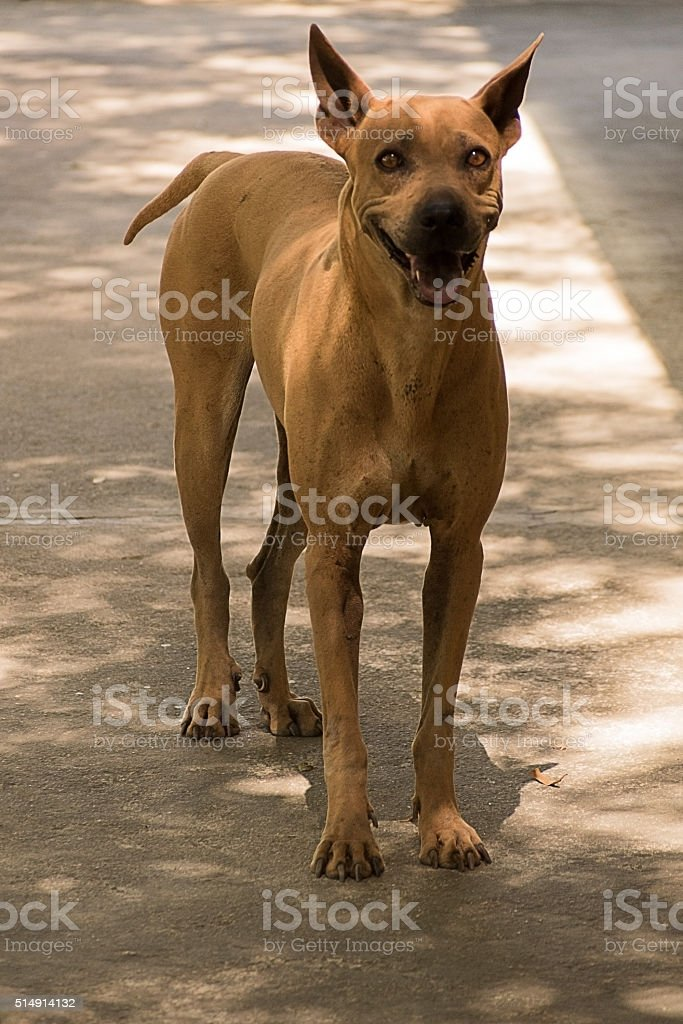 Brown stray dog standing on the road. stock photo