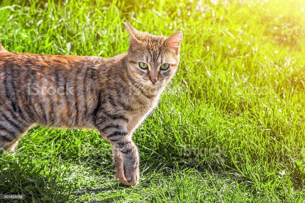 Brown striped cat animal under sunlight in green grass stock photo