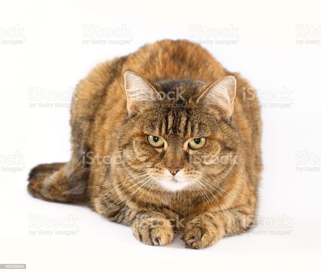 Brown striped cat on white royalty-free stock photo