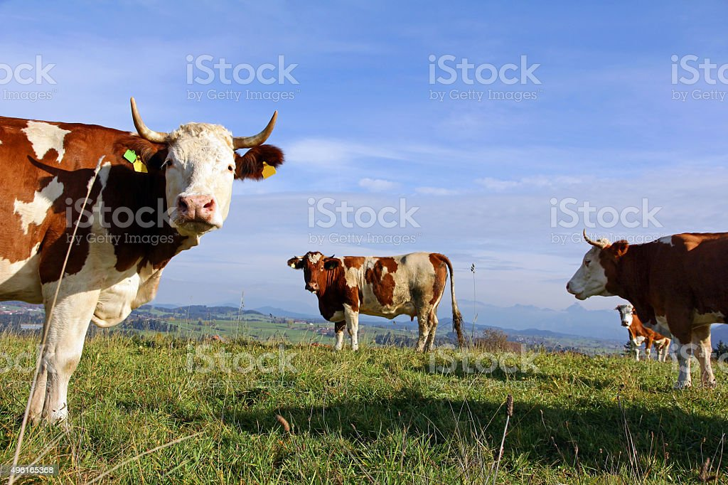 Brown Swiss and Simmental cattle stock photo